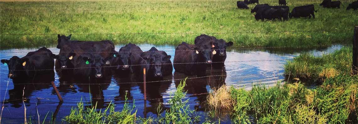 Cows-in-water_Slider